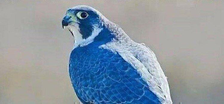 blue-falcon